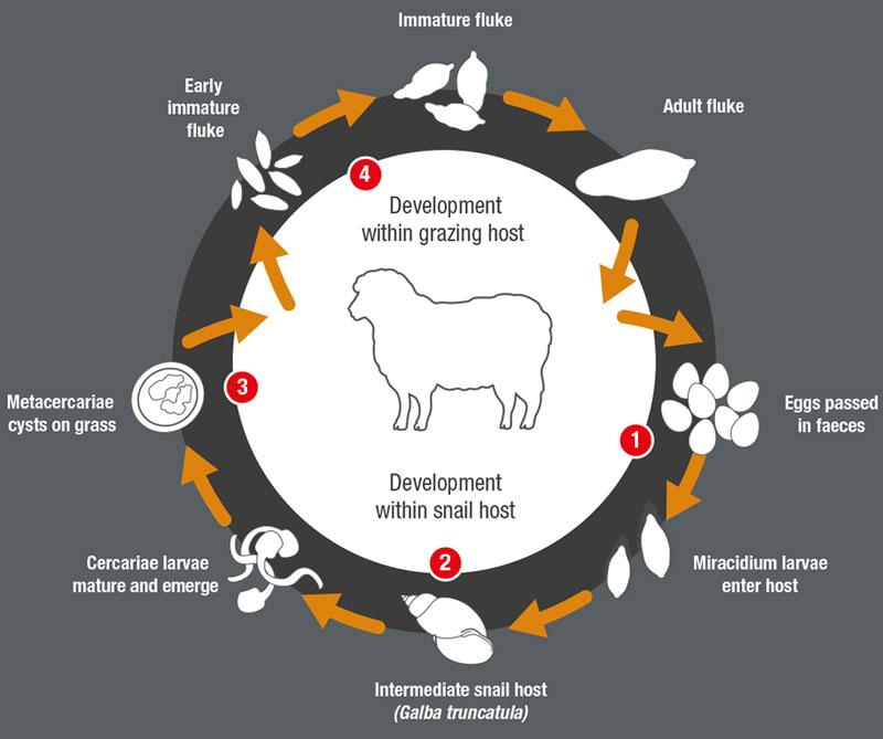 Sustainable Fluke Control For Sheep